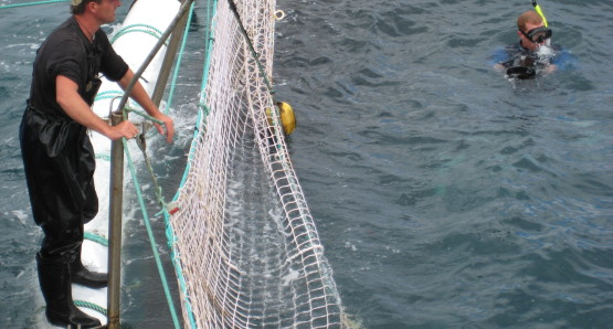 Harvesting Blue-fin Tuna at Spencer Gulf off the coast of Port Lincoln, Australia