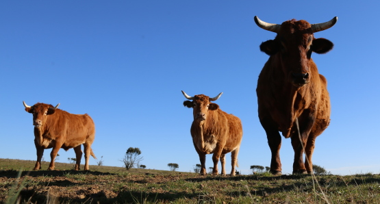 Spanish cattle.